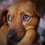 En hundehvalp kigger sødt , imens den ligger ned